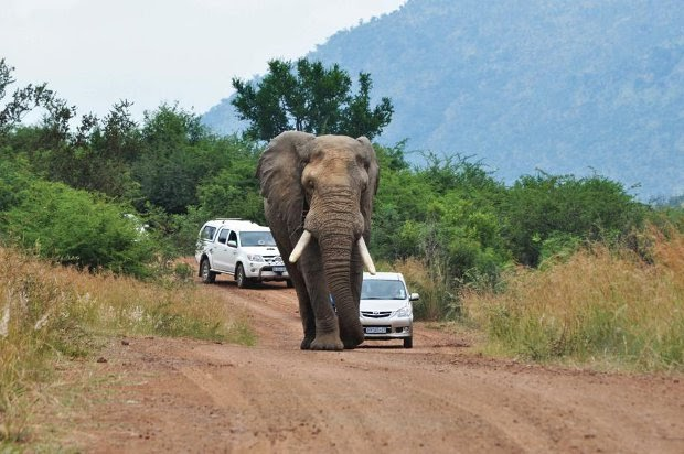 Elephant walking down the road
